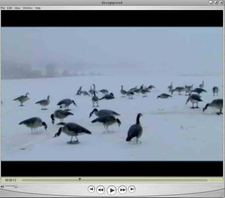 Canada goose snow goose duck hunting video